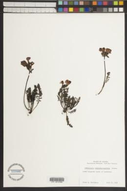 Image of Pedicularis rostratocapitata