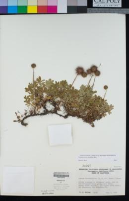 Acaena novae-zelandiae image