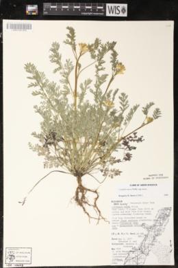 Corydalis aurea subsp. aurea image