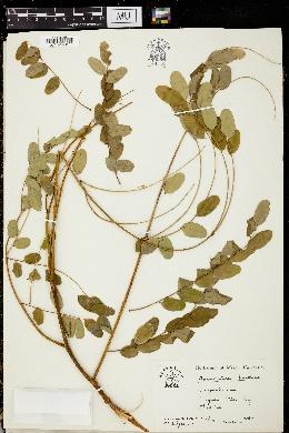 Image of Adenanthera pavonina