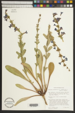 Penstemon pachyphyllus image
