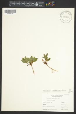 Image of Vaccinium alaskaense
