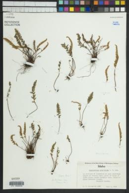 Myriopteris gracillima image