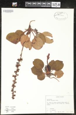Pyrola bracteata image