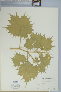 Jatropha angustidens image