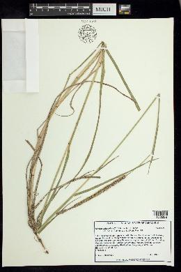 Image of Setaria sphacelata