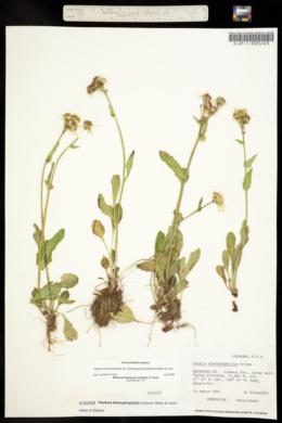 Senecio dimorphophyllus image