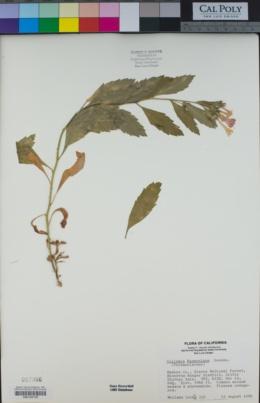 Collomia rawsoniana image