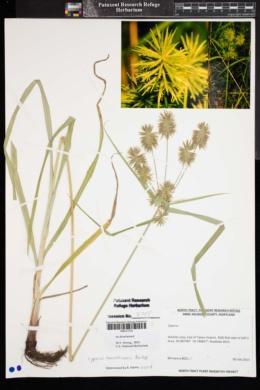 Image of Cyperus lancastriensis