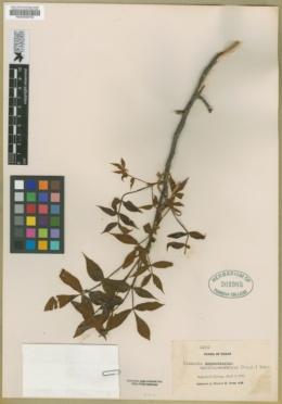 Image of Hicoria myristiciformis