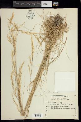Aristida gibbosa image