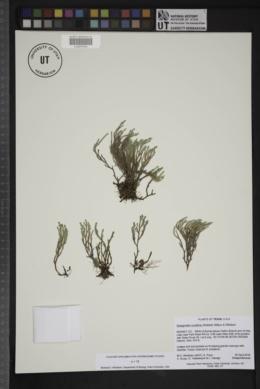 Image of Selaginella corallina