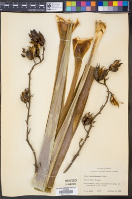 Image of Yucca cernua