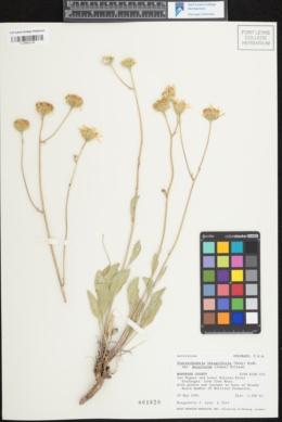 Image of Platyschkuhria integrifolia