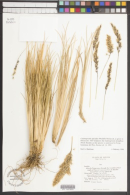 Image of Calamagrostis glacialis