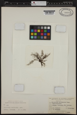 Halopteris pseudospicata image