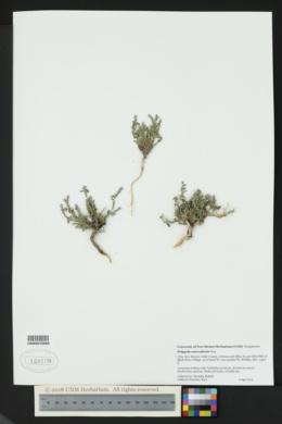 Image of Hebecarpa macradenia
