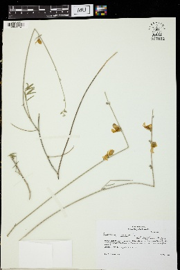 Spartium junceum image