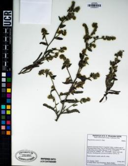 Plagiobothrys jonesii image