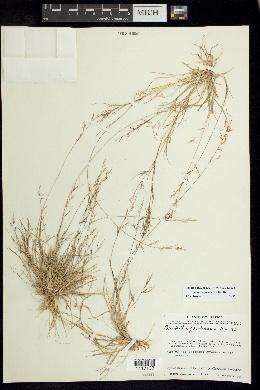Aristida jorullensis image
