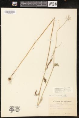 Ptilimnium texense image