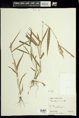 Image of Urochloa mollis