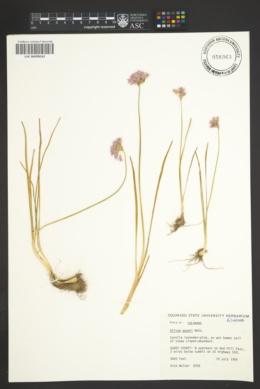 Allium geyeri image