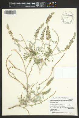 Errazurizia megacarpa image