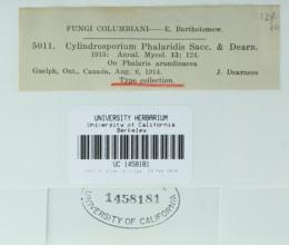 Cylindrosporium phalaridis image