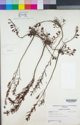 Image of Ludwigia linifolia