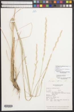 Trichopyrum scythicum image