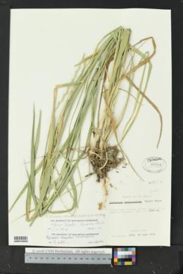 Thinopyrum intermedium image