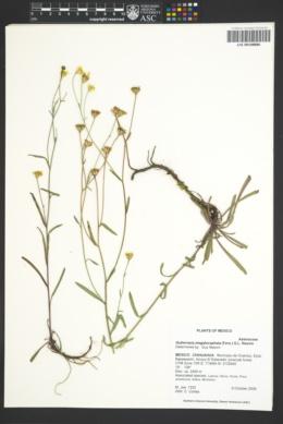 Image of Gutierrezia megalocephala