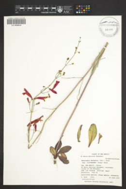 Penstemon barbatus var. trichander image