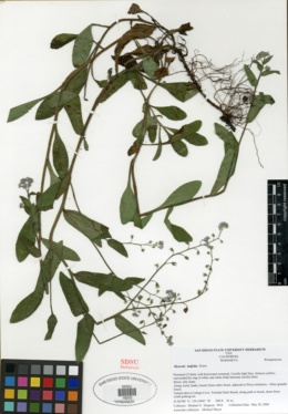 Image of Myosotis latifolia