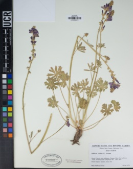 Image of Sidalcea covillei