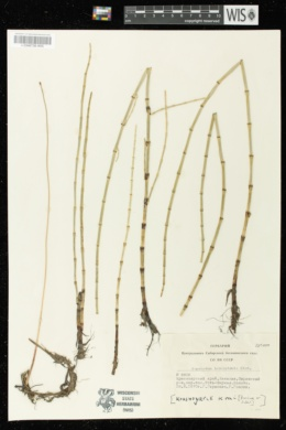 Image of Equisetum heleocharis