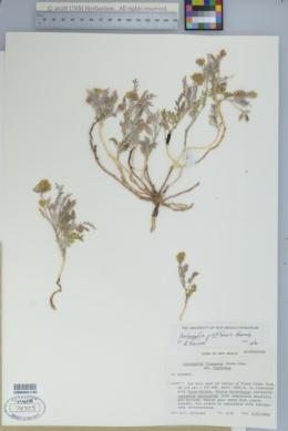 Astragalus pictiformis image