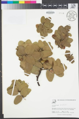 Image of Arctostaphylos insularis
