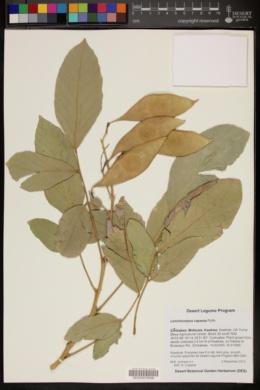 Image of Lonchocarpus capassa