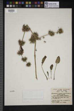 Damasonium alisma image