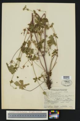 Geranium solanderi image