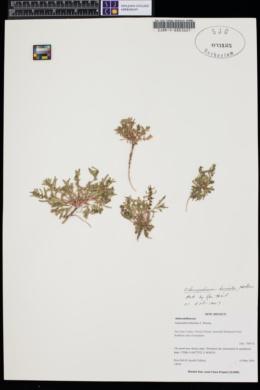 Chenopodium humile image