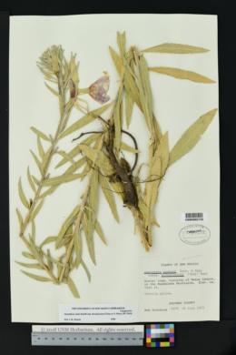 Oenothera elata subsp. hirsutissima image