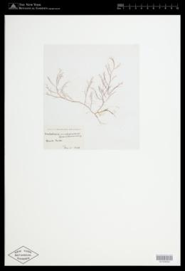 Melobesia membranacea image