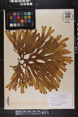 Dictyopteris muelleri image
