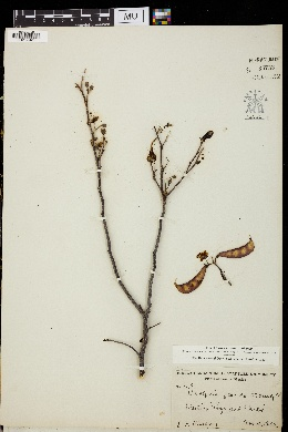 Image of Caesalpinia placida