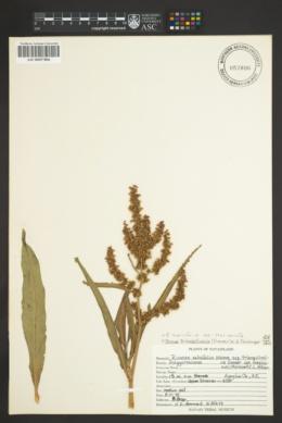 Rumex mexicanus image