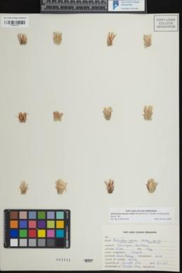 Image of Sclerocactus mesae-verdae