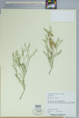 Image of Astragalus coltonii